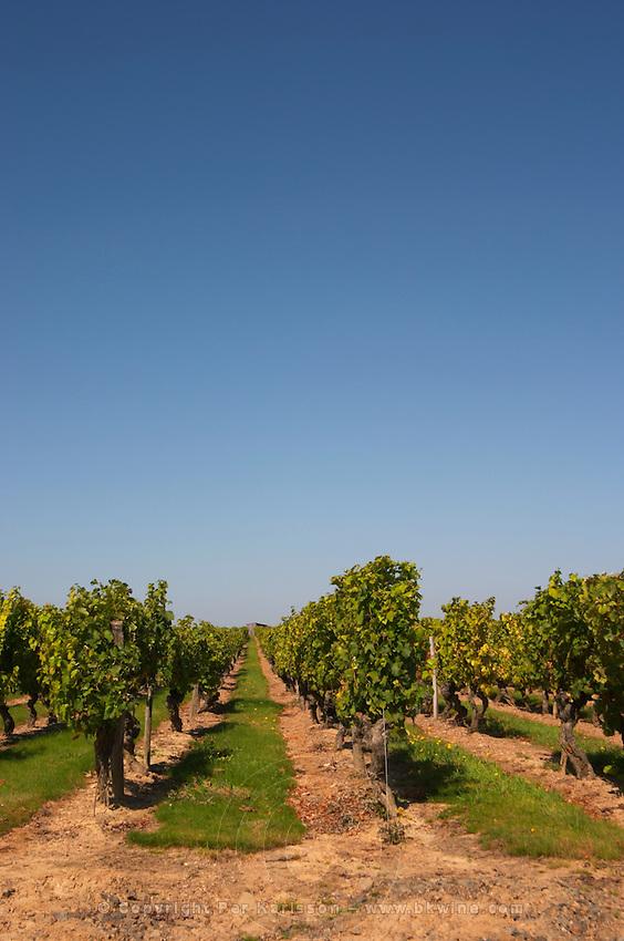 Vineyard. Chateau de Passavant, Anjou, Loire, France