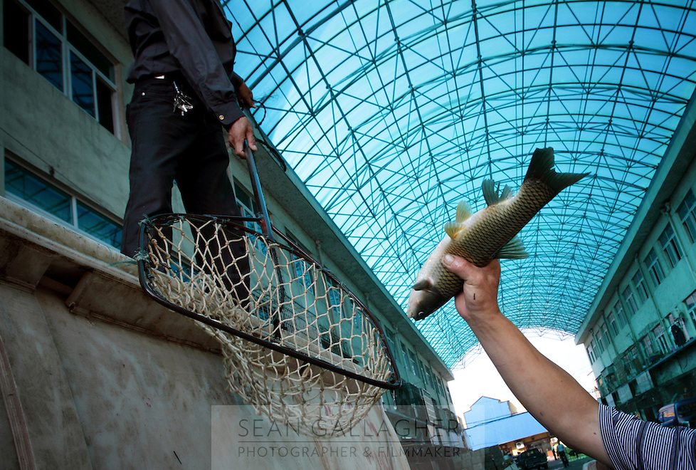 A man handles a fish in Yueyang fish market near Dongting Lake, Hunan Province. Dongting Lake has decreased in size in recent decades as a result of land reclamation and damming of the Yangtze. China. 2010