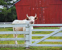 Harrodsburg, Kentucky: A bull looks over the fence in the spring pastures of The Shaker Village of Pleasant Hill