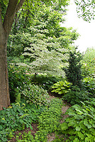 High branched shade from a tall tree and shade from a lower branched tree (variegated Cornus). Plantings include Galium odoratum, ferns, hosta, Epimedium