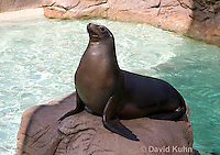 0406-1022  California Sea Lion Sun Bathing on Rock, Zalophus californianus  © David Kuhn/Dwight Kuhn Photography.