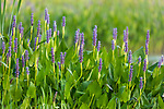 Pickerelweed growing in northern Wisconsin.