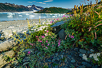 Summer landscape of dwarf fireweed and foliage with icebergs at Bear Glacier and Bear Glacier Lagoon in Kenai Fjords National Park.  Kenai Penninsula, Summer, Alaska   <br /> <br /> Photo by Jeff Schultz/  (C) 2019  ALL RIGHTS RESERVED