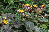 Ligularia dentata Britt-Marie Crawford in yellow flowers, damp moist water margins garden plant in bloom, dark purple bold big foliage