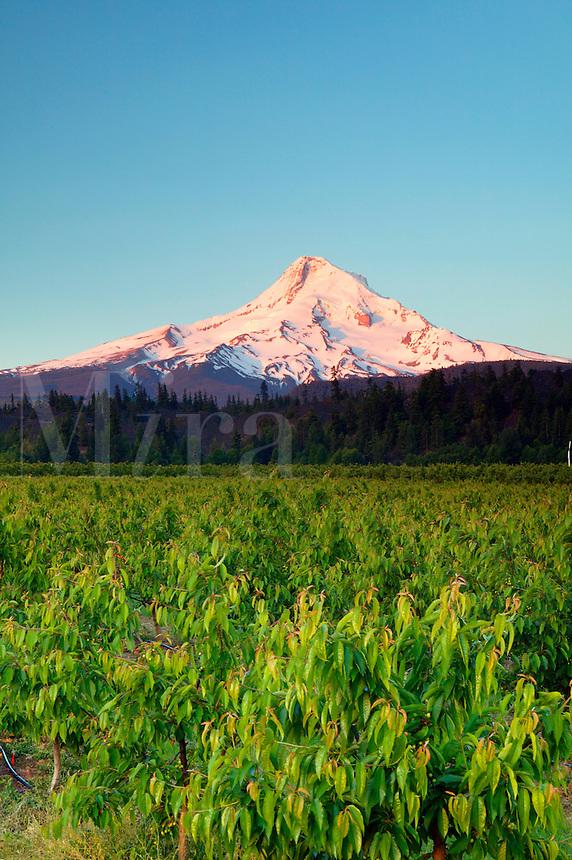 Farmland and Mt. Hood, Hood River Valley, Oregon