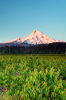 Farmland and Mt. Hood, Hood River Valley, Oregon