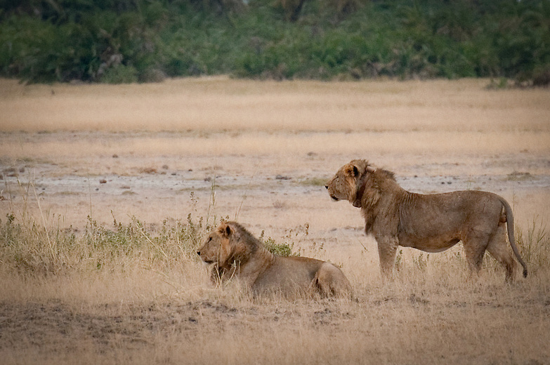 At about four years males will leave their natal pride and go into nomadic life. In nomadism they may meet with males of similar age from other prides, and can form very strong coalitions which in  another one or two years they would use to oust older territorial males from their territory and pride.