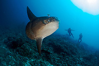 Divers amazed by the Ocean sunfish (Mola mola), Nusa Lembongan, Indonesia, Bali Sea MR