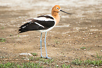 An American Avocet stands in an alkali flat on the Bowdoin National Wildlife Refuge near Malta, Montana.