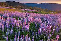 Lupin, Lupinus angustifolius, Childs Hill Prairie, Redwood National Park, California