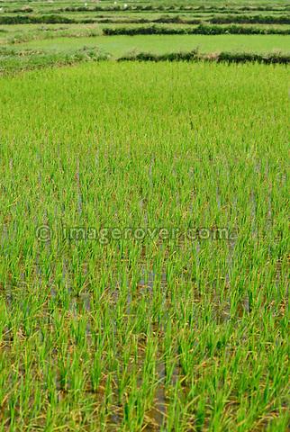 Asia, Vietnam, nr. Hoi An. Rice field.