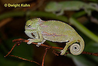 CH47-525z  Veiled Chameleon several day old young displaying with puffed up body, Chamaeleo calyptratus