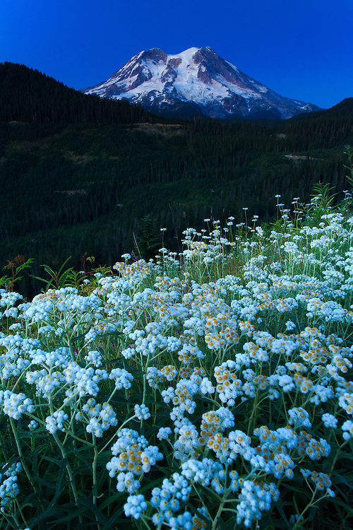 Wild flowers at Mt.Rainier National Park