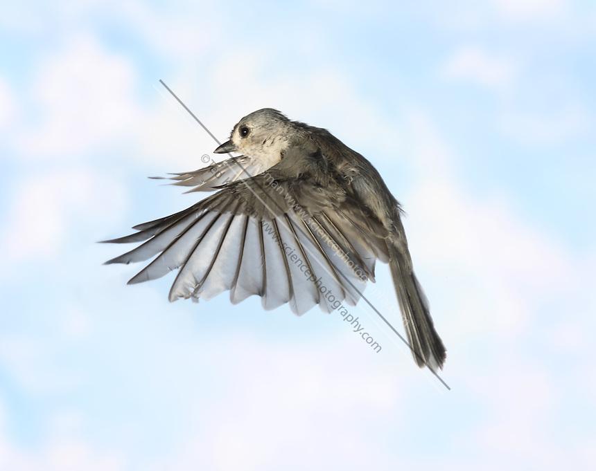 Tufted titmouse (Parus bicolor) in Flight.