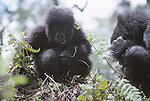 young mountain gorilla, Virungas