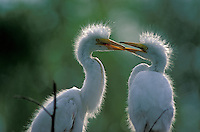 Great Egret (Casmerodius albus), two young in the nest, south Florida