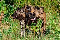 African wild dogs, near Kwando Concession, Linyanti Marshes, Botswana. African wild dogs are extremely endangered. Only about 6,000 are left. This pack was large, about 20. They hunt as a pack, chasing and wearing down their prey. They then eat the entire animal, including bones. This all takes place in a short period of time before dark.