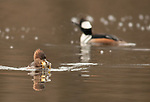 Hooded merganser with sunfish