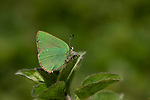 Green Hairstreak Butterfly, Callophrys rubi, Elmley Marshes, Kent UK,  illusion of being green, an effect produced by the diffraction of light on a lattice-like structure found within the wing scales, which provides excellent camouflage as the butterfly rests on a favourite perch, Elmley Nature Reserve