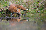 A Red fox (captive) drinking from a pool. Bedfordshire, UK
