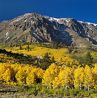 A stand of QUAKING ASPEN turn golden below MT WOOD - PARKER BENCH, JUNE LAKE LOOP - SIERRA NEVADA, CALIFORNIA