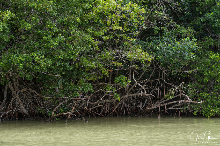 Mangroves growing along the brackish marine estuary in the Ria Lagartos Biosphere Reserve, a UNESCO World Biosphere Reserve in Yucatan, Mexico.