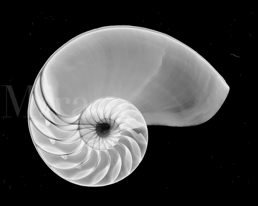 Nautilus shell, chambered