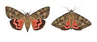72.081 (2455)<br /> Dark Crimson Underwing - Catocala sponsa