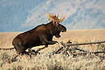 Bull Moose leaping fence