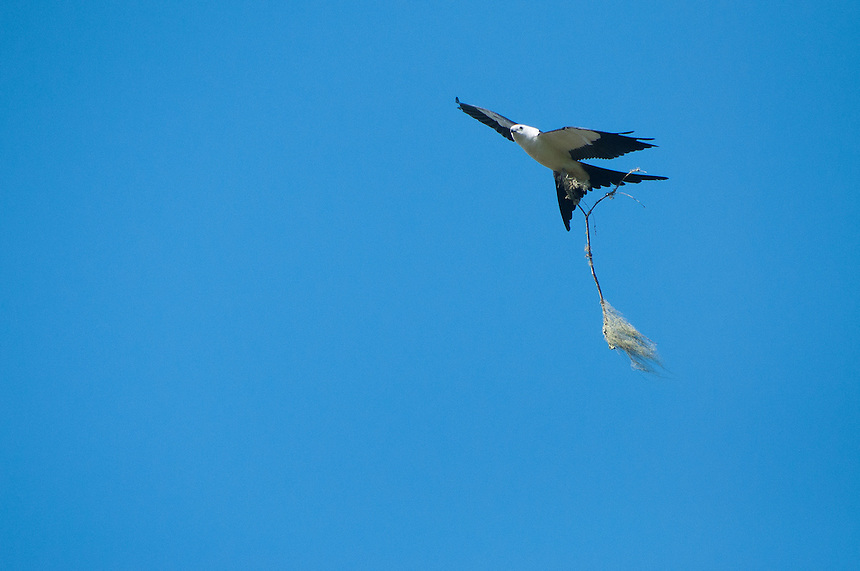 Swallow-tailed Kite (Elanoides forficatus) with Nest-Building, Corkscrew Swamp Sanctuary, Naples, Florida, US