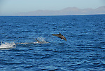 jumping bottlenose dolphin in Gulf of California