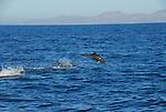 jumping bottlenose dolphin in Gulf of California
