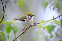 Chestnut-sided Warbler (Setophaga pensylvanica), female in breeding plumage, a spring migrant to Magee Marsh in Oak Harbor, Ohio foraging.