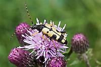 Longhorn Beetle - Strangalia maculata