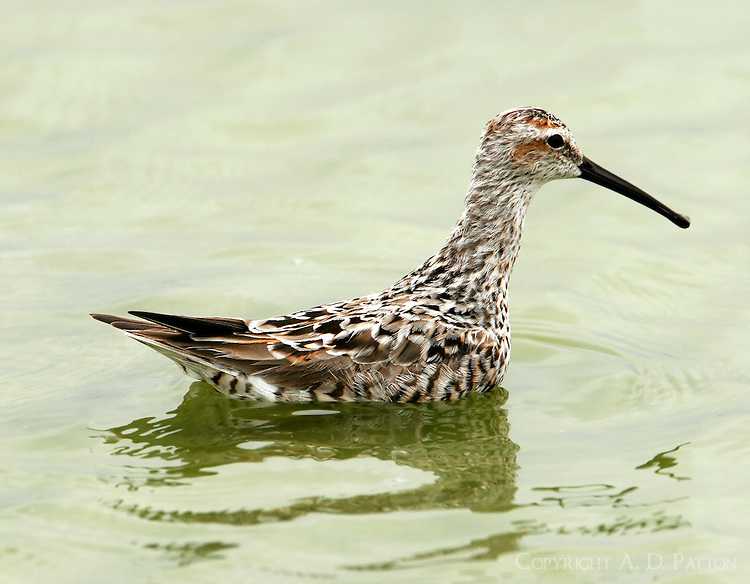 Stilt sandpiper adult breeding swimming in pond
