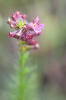 Tiradentes_MG, Brasil.<br />  <br /> Detalhe de uma flor em Tiradentes, Minas Gerais.<br /> <br /> A flower detail in Tiradentes, Minas Gerais<br /> <br /> Foto: JOAO MARCOS ROSA / NITRO