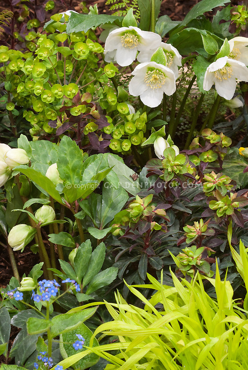 Euphorbia, Hakon grass & white hellebore in beautiful spring planting combination of yellow and white color theme tones
