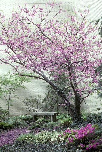 Redbud blooming in corner garden with bench and petals on path by white wall