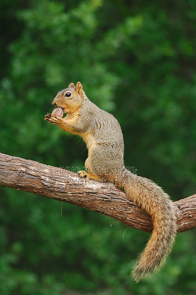 Eastern Fox Squirrel (Sciurus niger), male eating pecan nut, Fennessey Ranch, Refugio, Coastal Bend, Texas Coast, USA