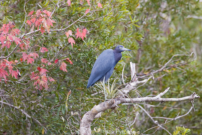 The Little Blue Heron, slate blue with dull green feet and legs is a slow, methodical feeder.