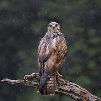 Buteo buteo<br /> <br /> Common buzzard in the rain.