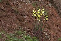 Wild-Kohl, Wildkohl, Klippen-Kohl, Klippenkohl, Stammform vieler Kohl-Züchtungen, Brassica oleracea oleracea, Wild Cabbage, an rotem Fels auf Helgoland