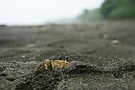 Atlantic Ghost Crab (Ocypode quadrata) at burrow on beach, Tortuguero National Park, Costa Rica
