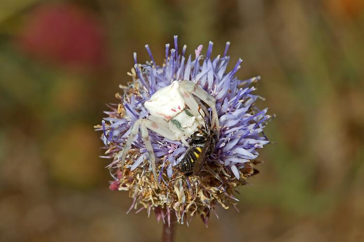 Flower Crab Spider - Misumena vatia