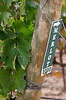 Merlot vines. Bacalhoa Vinhos, Azeitao, Portugal