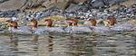 USA, Alaska , Glacier Bay National Park , common merganser (Mergus merganser)