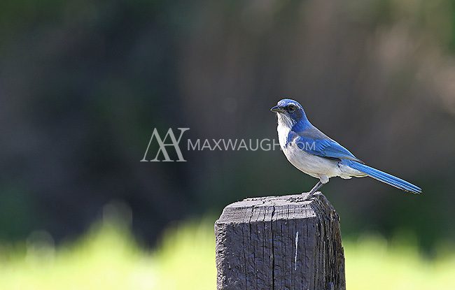 A western scrub-jay, photographed in Pinnacles National Park.