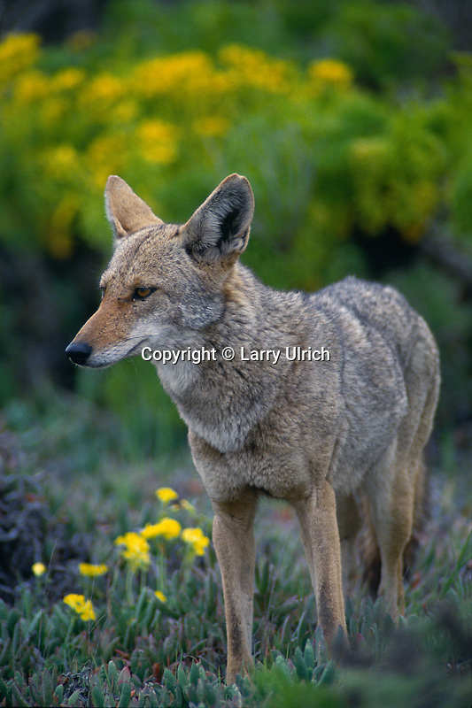 Coyote<br />