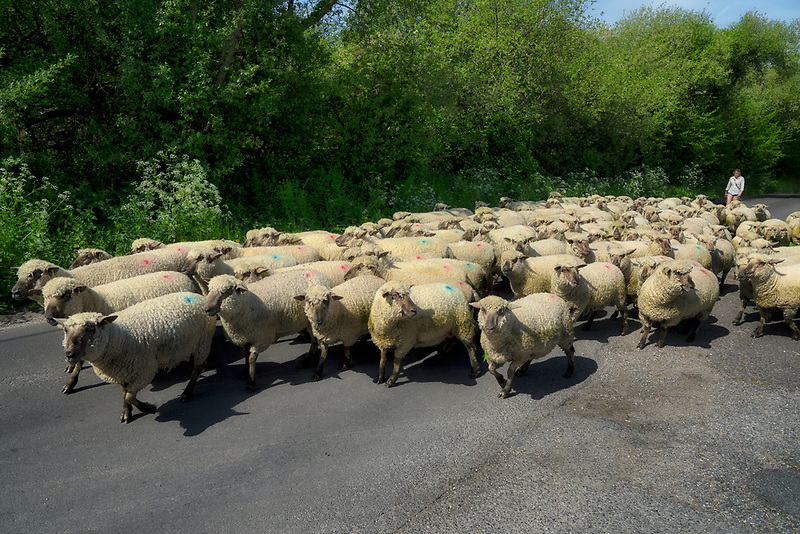 Shep being teransported down road in England. Dorset.