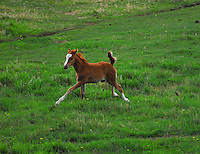 Foal running through green pasture tail flying.
